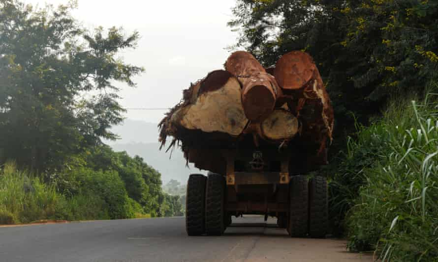 The back of a lorry carrying large felled trees.