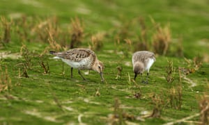 Two dunlins feeding along the shoreline in Pagham Harbour