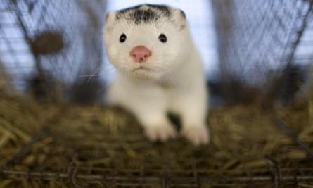 White mink
