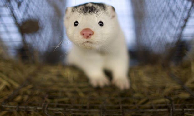 Denmark dumps 17 million culled mink in mass graves amid fears a mutated strain of Covid found in the animals could scupper vaccine breakthrough