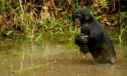 A bonobo ape, a primate unique to Congo and humankind's closest relative, stands in a pond at Lola Ya Bonobo sanctuary near the capital Kinshasa.