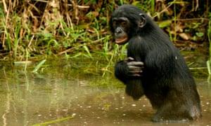 Pygmy chimpanzees, or bonobos, are unique to the Democratic Republic of the Congo