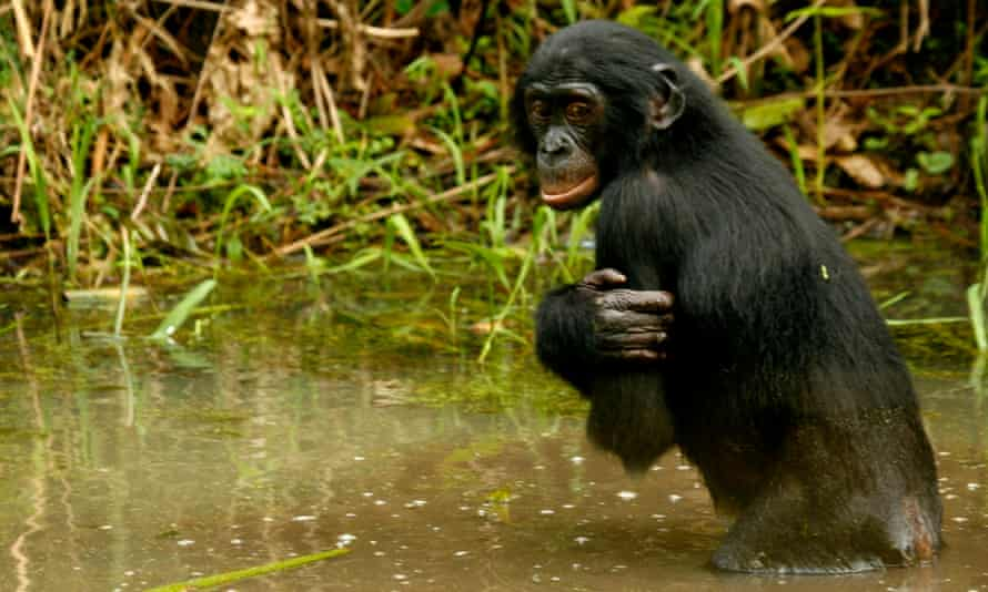 Pygmy chimpanzees, or bonobos, are unique to the Democratic Republic of the Congo