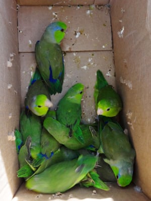 Parrots taken from the wild by illegal poachers to be sold at a market in the northern city of Trujillo, Peru