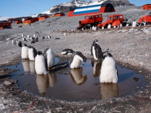 Gentoo penguins at the Argentinian research base, Esperanza, where the hottest temperature ever in Antarctica was reportedly recorded on 6 February.