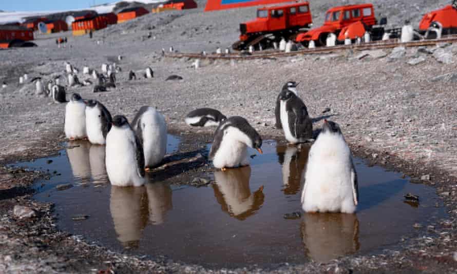 Gentoo penguins at the Argentinian research base Esperanza in Antarctica.