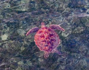 A juvenile female green sea turtle swimming in the Coral Sea, off Queensland, Australia.