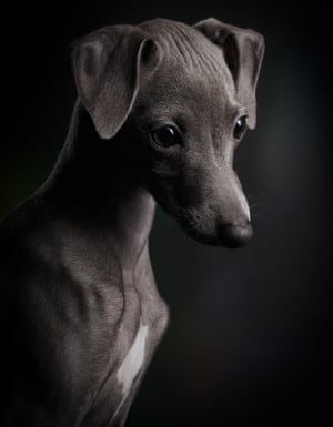 First place, Puppies:  Ceylin, a three-month-old Italian greyhound