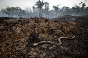 A snake slithers across a burned-out tract of Amazon jungle burns in Porto Velho in the state of Rondônia.