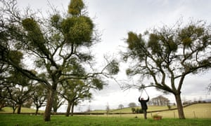 Mistletoe being collected from trees near Tenbury Wells in Worcestershire