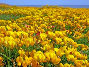 A carpet of bird's-foot trefoil growing on a raised beach of colliery waste on the Blast.