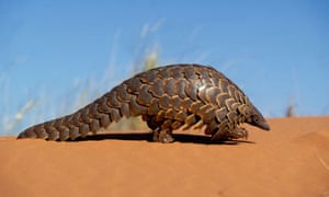 """""""Picture of an endangered creature with scales on its back, a long tail and a pointy nose"""""""