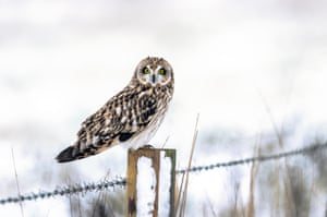 Short-eared owl hunting prey from a fence post in Cambridgeshire.