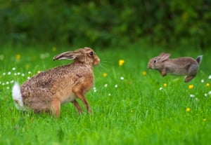 A baby bunny attacks a brown hare, four times its size at a farm in Shropshire in a rare mismatched fight
