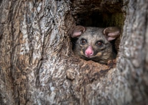 An urban brush-tailed possum, Trichosurus vulpecula