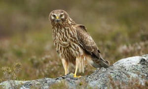 A hen harrier on the Scottish moors - an intensively persecuted bird of prey