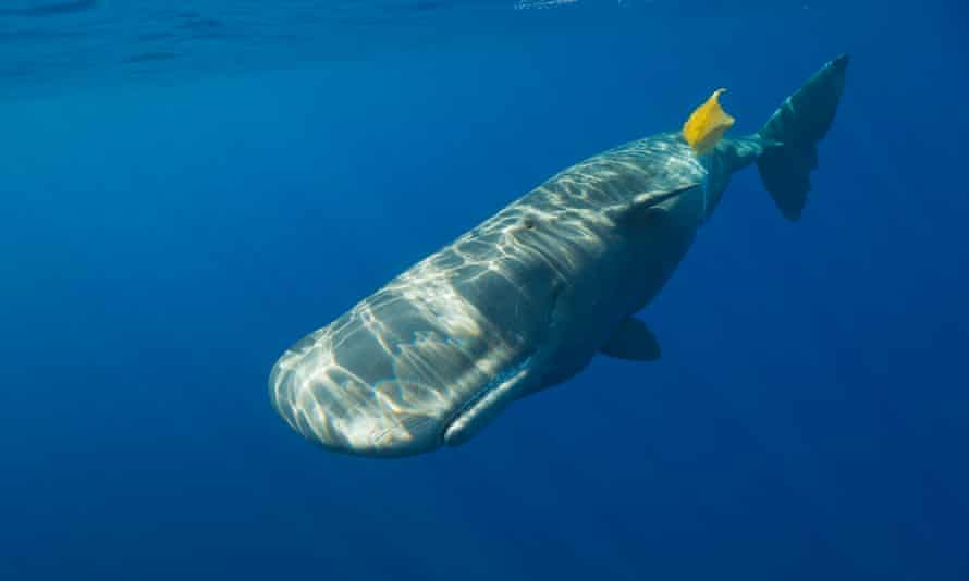 A sperm whale plays with plastic waste in the Atlantic.