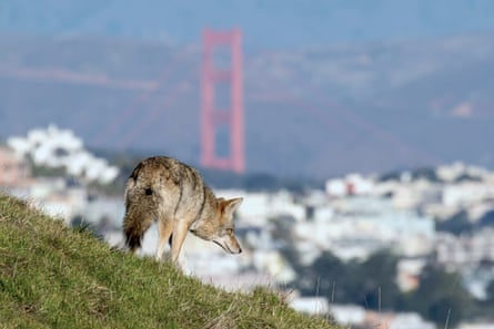 'Coyotes used to be here before San Francisco was ever built.'