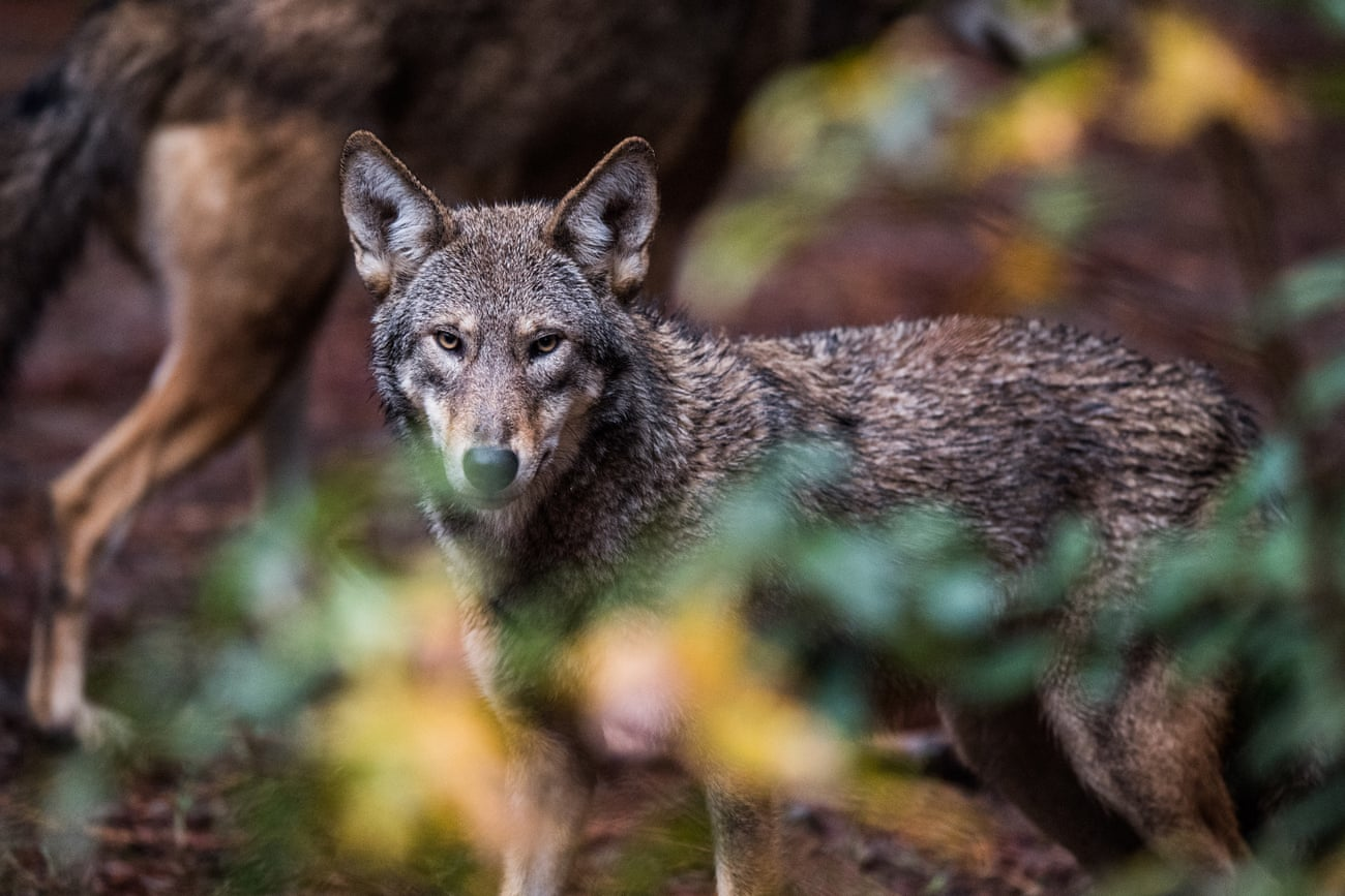 POLL: Should all wolves be stripped of federal protection?