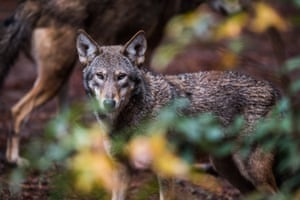 Red Wolves are seen at the North Carolina Museum of Life & Science in Durham, North Carolina.