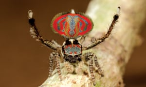 The elephant-faced peacock spider.