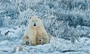 Polar Bear, Ursus maritimus, sitting among wiilows in the frost, near Hudson Bay, Cape Churchill, Manitoba, Canada