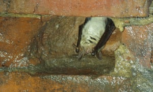Britain's last known greater mouse-eared bat, hibernating in a tunnel in Sussex.