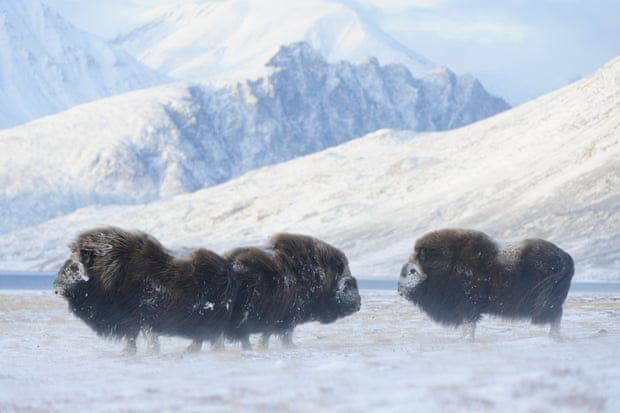 Musk oxen at Zackenberg research station. The animals are used to the harsh environment of north-east Greenland. Photograph: Lars Holst Hansen/Aarhus University/Caff