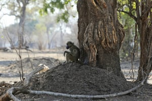 A baboon sitting under a tree in Mana Pools national park, Zimbabwe