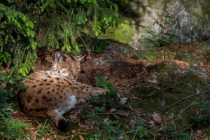 A Eurasian lynx sleeping under pine tree in coniferous forest, Bavaria, Germany