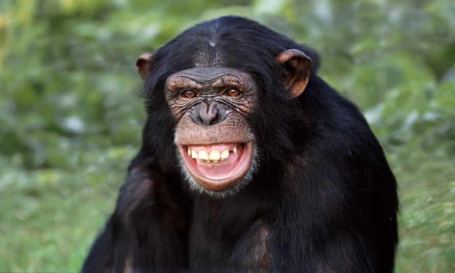 ChimpanzeeA124CE Chimpanzee laugh1