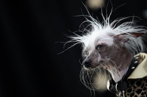 A Chinese crested dog named Rascal Deux poses during the 2016 World's Ugliest Dog contest at the Sonoma-Marin fair, California