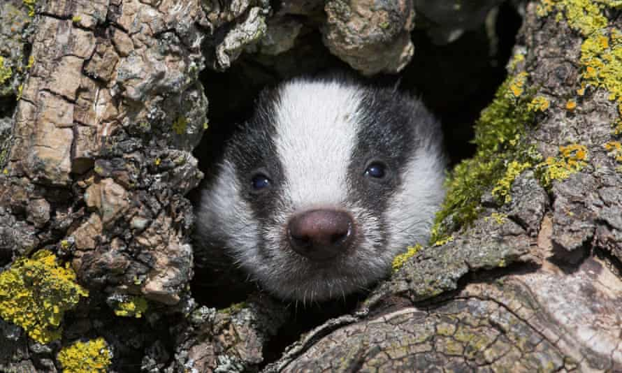 Badger cub. Anti-cull activists plan to turn the tables on the marksmen