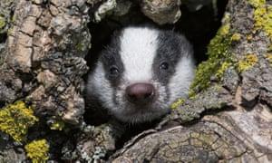Badger cub (Meles meles)