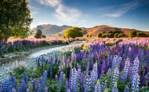 The overall winning entry was of Tekapo lupins taken by Richard Bloom