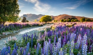 Richard Bloom's photograph of lupins on the South Island of New Zealand won International Garden Photographer of the Year 2016.