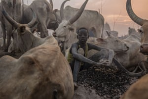 A boy sits among cows at the camp