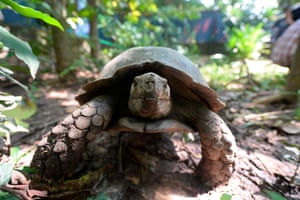 An Asian giant tortoise is pictured at the Turtle Conservation Centre at a forest reserve in Rajendrapur, Bangladesh.