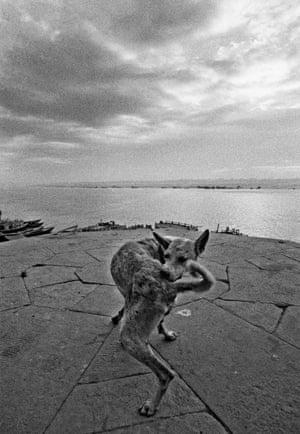 Varanasi, 1972 INDIA. Benares. 1972. Dog on the ghat.