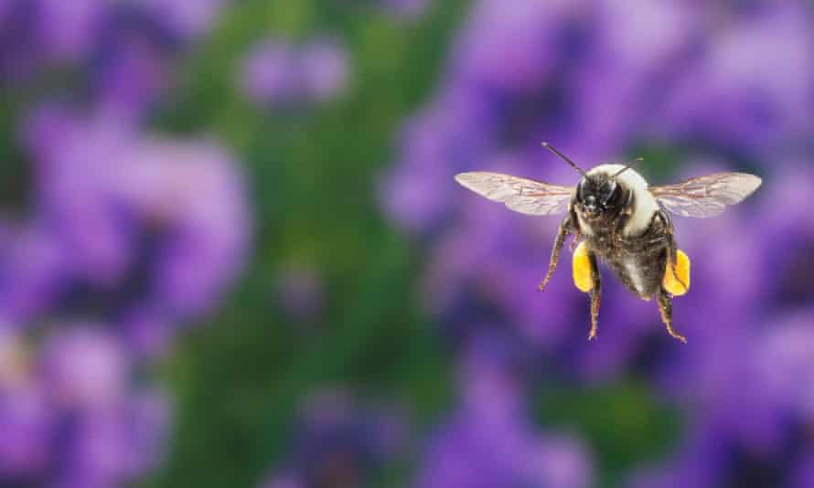 A common eastern bumble bee in flight