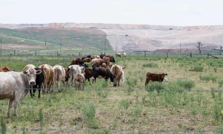Cows graze near a coal mine
