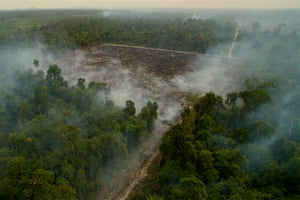 Road to destruction In Indonesian Borneo and Sumatra, the El Niño weather event turned the 2015 dry season into a drought, and extensive fires spiralled out of control, sending heat and smoke across the region. Orangutan habitats within protected reserves, as well as those outside, were decimated, as more than 21,000 square kilometres (8,110 square miles) of forest burned. Laman used a drone to explore the forest destruction in the buffer zone around Gunung Palung national park.