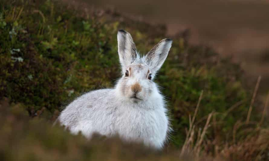 Scotland's mountain hare is also at risk from rising temperatures.