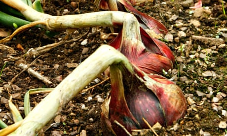How to grow onions and shallots