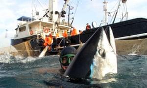 Japanese fishermen catch tuna fish at bluefin tuna farm