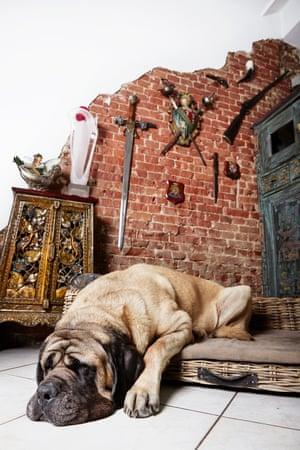English mastiff dog Joep photographed by Isabella Rozendaal in Amsterdam.
