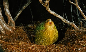 A kakapo calling. Once found all over New Zealand, the world's heaviest parrot was hunted by Maori and then European arrivals.