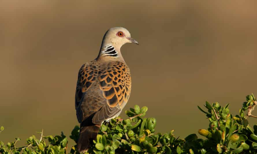 Turtle doves migrate to Britain from Africa. Money spent on biodiversity there could have a knock-on benefit in this country.