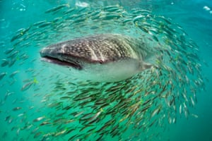 Whale Shark and Fish, Mexico