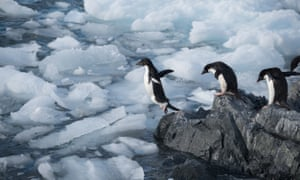 Adélie penguin jumping off into the icy water